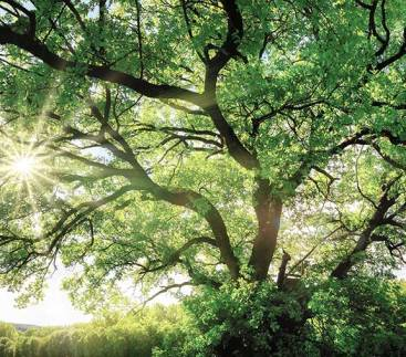 Big oak tree with sun shining through the branches
